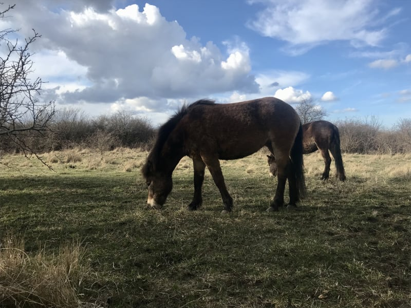Everything is connected Exmoor_Ponies_on_Amager_Fëlled_dxld12
